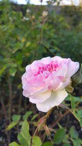 Blush Pink Bloom