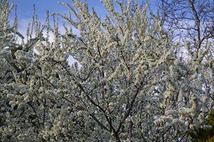 White Blossoms.