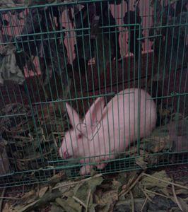 caged rabbit, house rabbit
