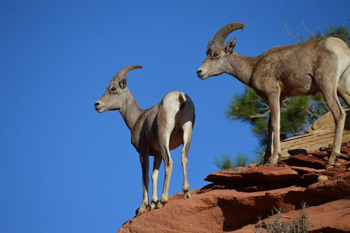Zion's Big Horn Rams - Jennifer M. Gerke