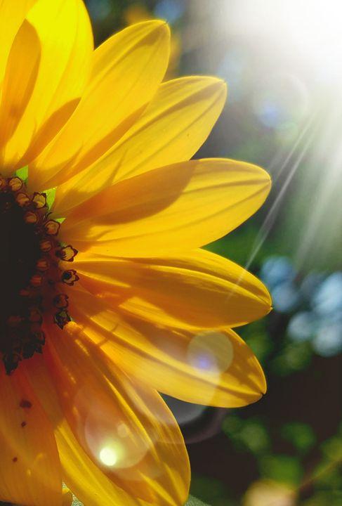 Backlit Sunflower - Front Porch Photography by Jenny