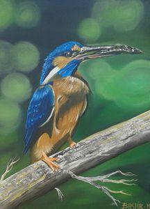 Kingfisher - Bashir Midoun