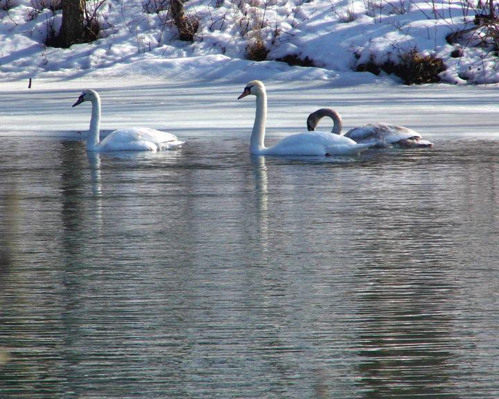 Trois Swans - Clinton Michael