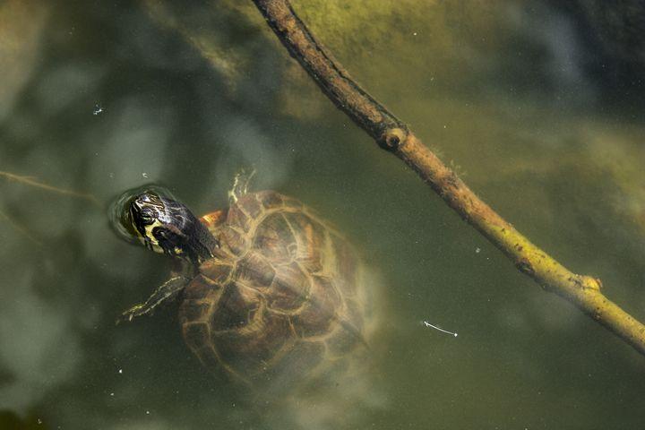 Zen Turtle - Empty Cup Gallery