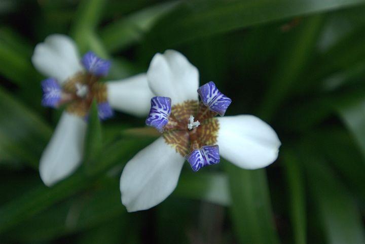 Rich Lavender and White - Van Soestberg