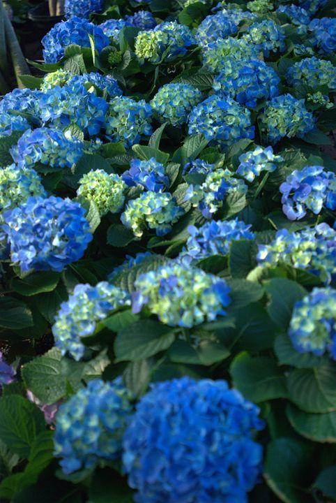 Blue Hydrangeas - Van Soestberg