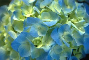 Light Blue Tip Hydrangea