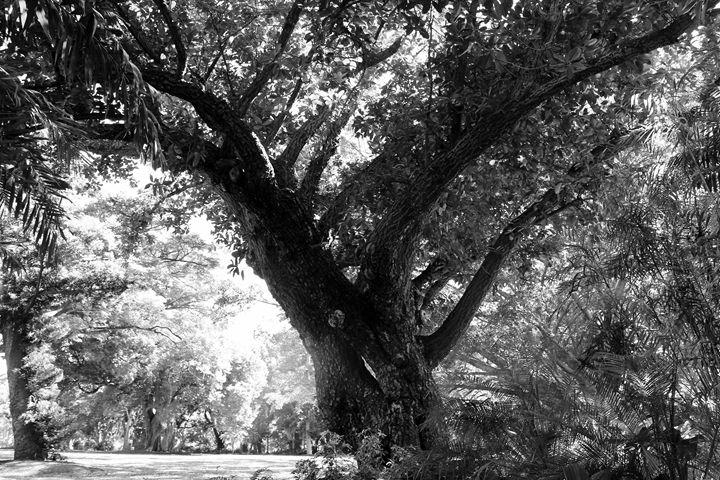 Old Tree - Stella
