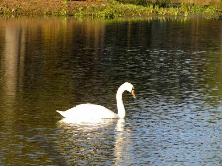 Swan - Michael Henry