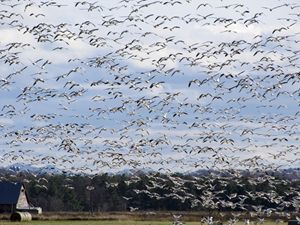 Canadian Geese in Flight - Michael Henry