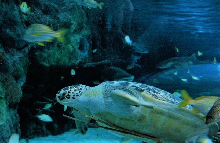 Sea Turtle - SLPeders
