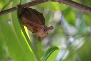 Baby Flying Fox