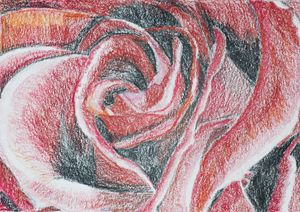 Closeup of Rose