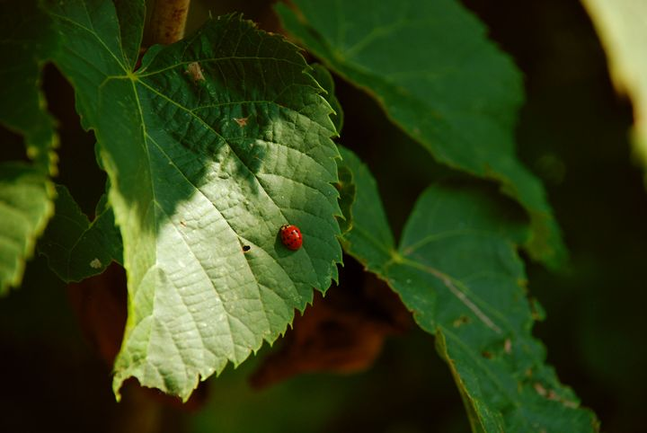 Ladybug - Tazio Yandell
