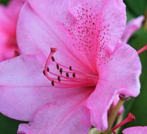 Rhododendren 2