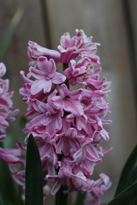 Young Hyacinth