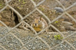 Squirrel behind wire fence