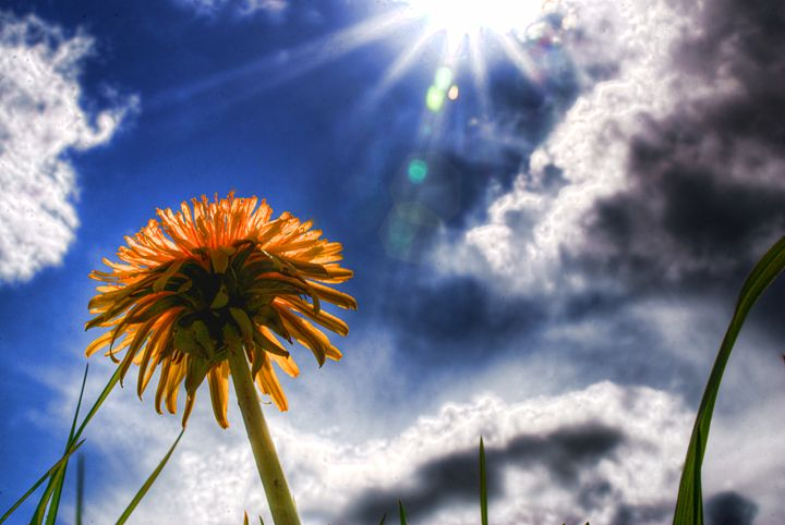 Dandelion in the Sun... - Andy Milner Photography