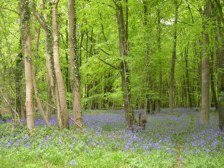 Bluebell Wood - Robert Harris
