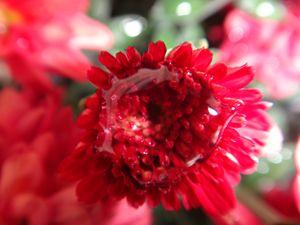 Chrysanthemum bud
