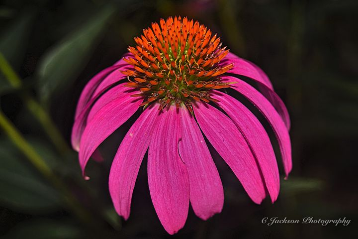 Flowers - C Jackson Photography