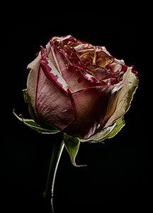 Decay Rose II