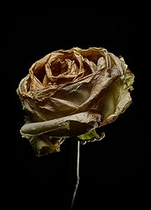 Decay Rose IV