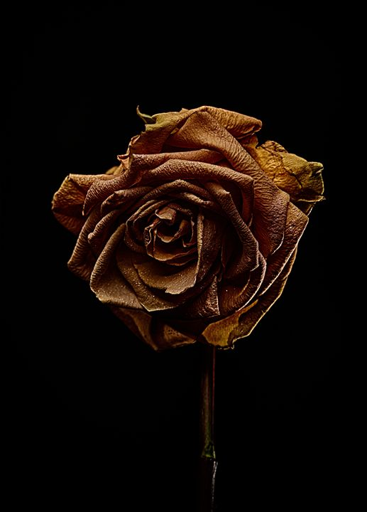 Decay Rose V - Marco Moroni Photography