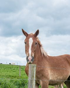 Belgian Brown Horse