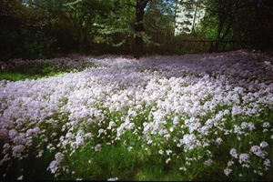 A Pink Flower Field