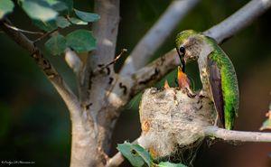 Hummingbird Mother (4822)