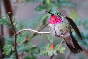 Broad-tailed Hummingbird Male (3930)