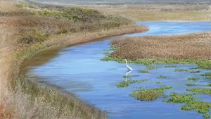 Pescadero Peacefulness, White Egret