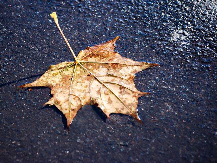 bright yellow fallen leaf on the wet - Radomir