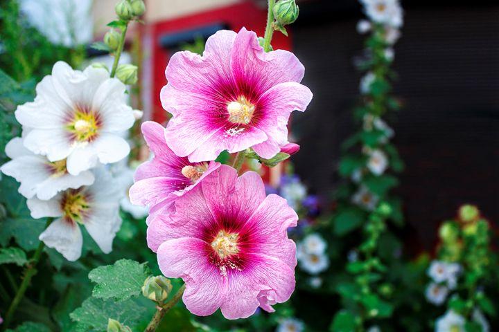 bright flowers mallow - Radomir