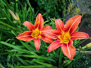 two bright red lilies in the garden