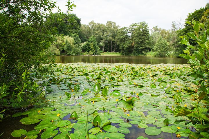 lake overgrown with water lilies - Radomir