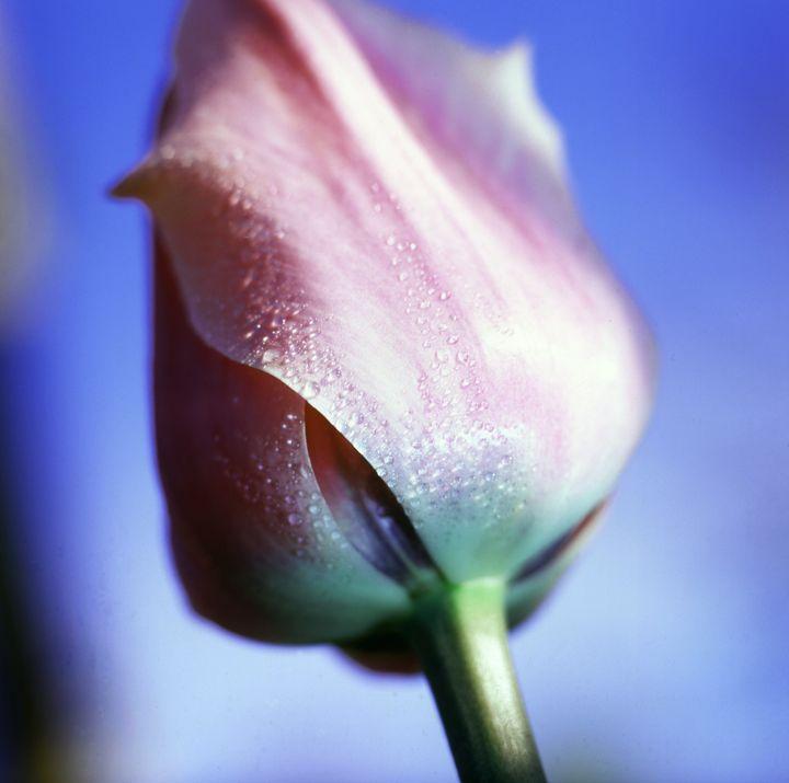 Pink Tulip - Hamilton