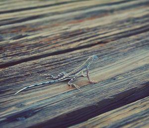 Lizard wandering in the Death Valley