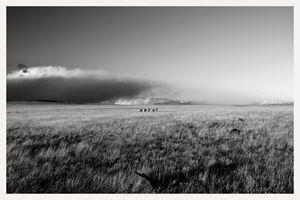 herd of pronghorn deer antelope