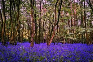 Kent Bluebell woods