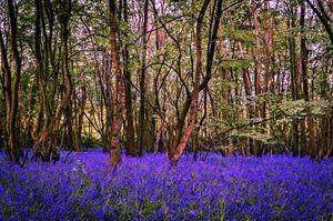 Kent Bluebell woods