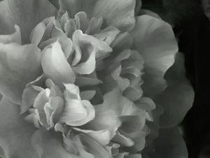 white camilla