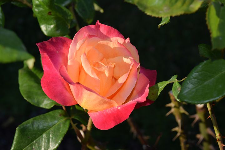 A rose is a rose - Faith Fougeron