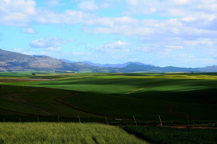 Wheat in the Swartland - Hibiscus