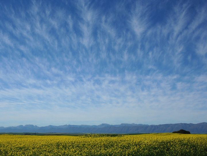 Canola field - Hibiscus