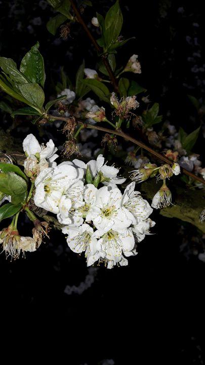 Plum blossoms - Hibiscus