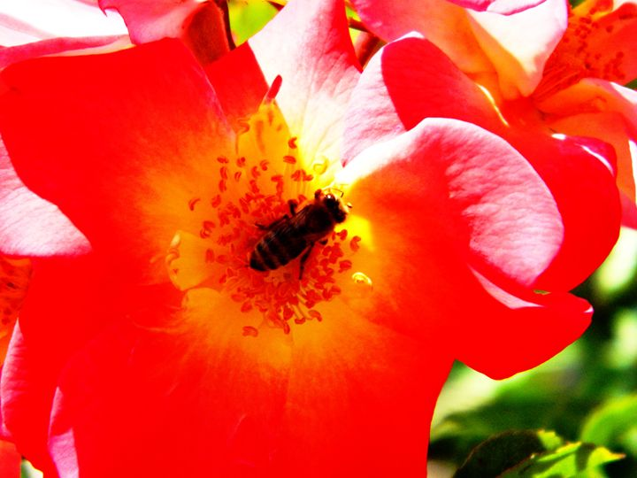 Pollinating The Rose - Markell Smith Gallery