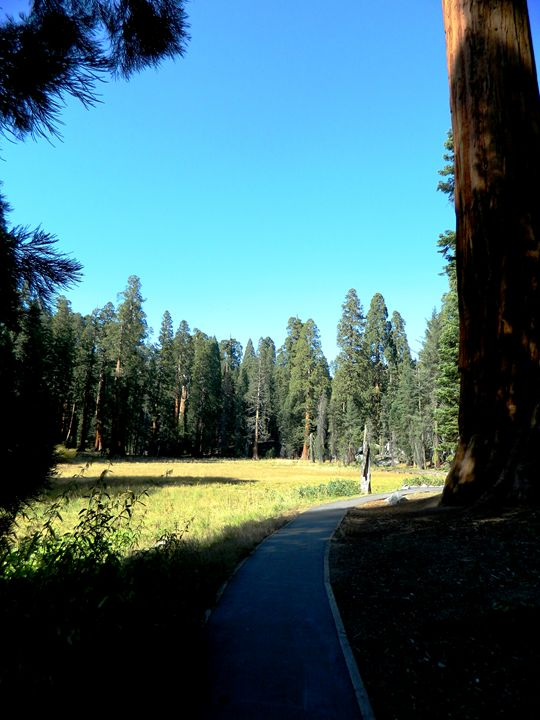 Sequoia Path - Markell Smith Gallery