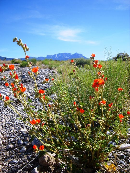 Flowers in the Desert - Markell Smith Gallery